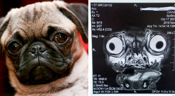De verontrustende röntgenfoto van een mopshond toont alle gezondheidsproblemen waaraan dit hondenras lijdt