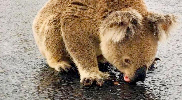 Eine Frau verewigt einen durstigen Koala, während er Regentropfen vom Asphalt der Straße leckt