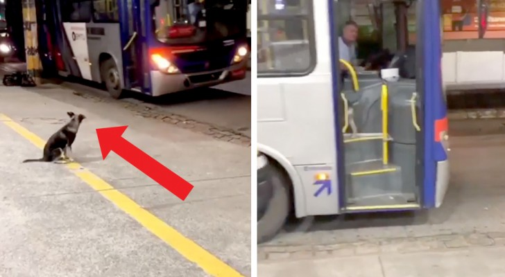 Every day this stray puppy waits at the same bus stop for a bus driver who brings him a snack