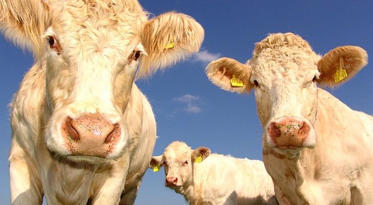 Kühe können miteinander reden und ihre Gefühle ausdrücken: eine Studie zeigt dies