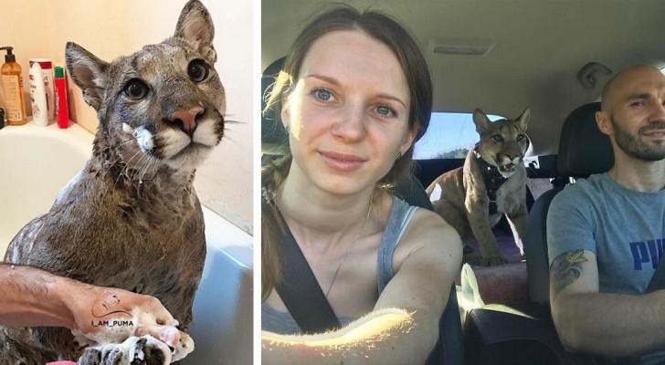 Si prendono cura di un puma malato e lo allevano come se fosse un enorme gatto domestico
