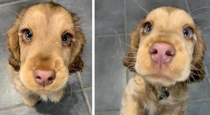 Questa splendida cucciola di Cocker Spaniel ha degli occhi così belli da ricordare quelli di una principessa Disney