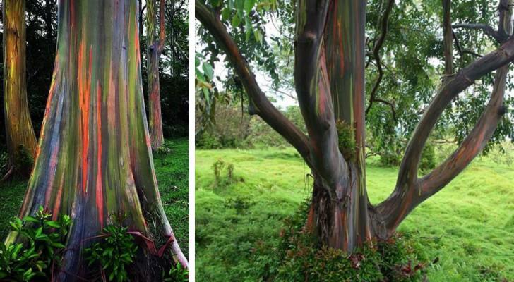 L'Eucalyptus arc-en-ciel est un arbre extraordinaire avec un tronc multicolore pouvant atteindre 75 mètres de hauteur