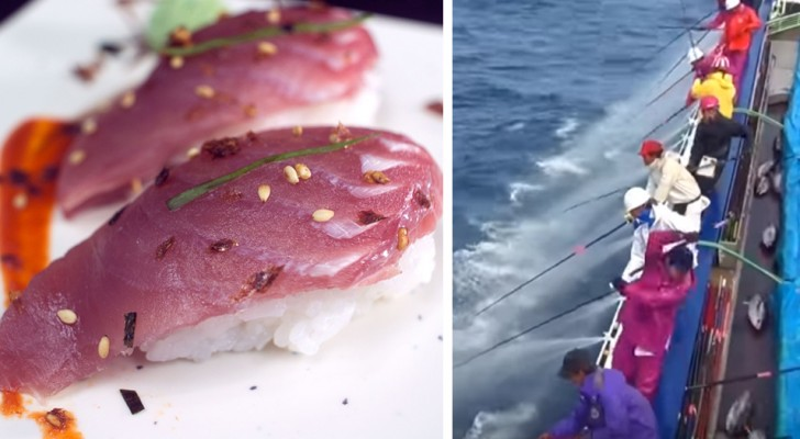 Thunfisch könnte ein seltenes Nahrungsmittel werden: unser Verlangen nach Sushi gefährdet sein Überleben
