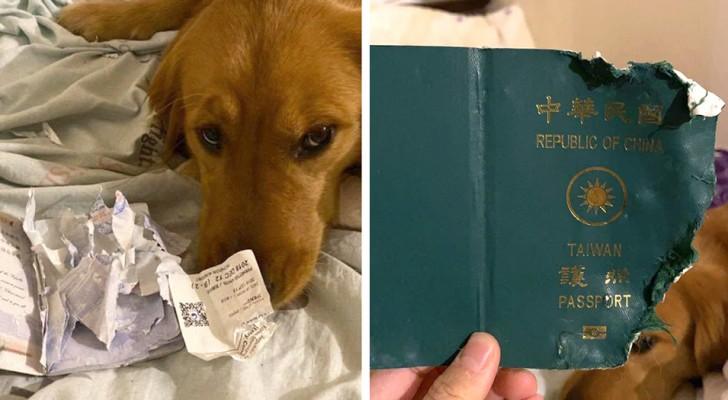 Ce chien mange le passeport de la maîtresse en partance pour Wuhan, et la