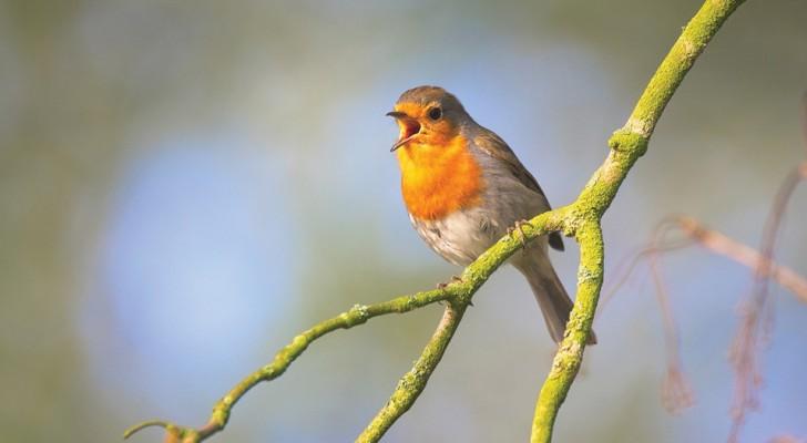 Presto sentire il canto degli uccelli potrà essere raro: l'allarme degli esperti sullo stato di salute dei volatili