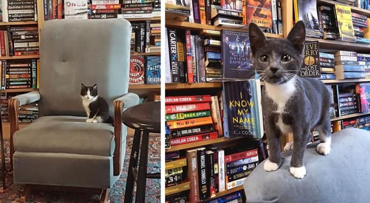 Entre les étagères de cette librairie, de doux chatons se promènent librement et les clients peuvent aussi les adopter