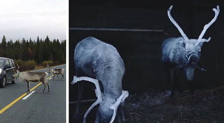 Ein Finnischer Verband sprüht reflektierendes Spray auf Rentierhörner, um Verkehrsunfälle zu verhindern