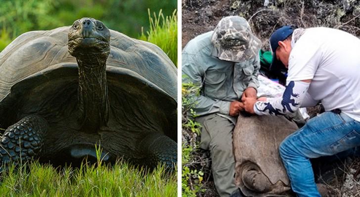 Alle Galapagos, un censimento delle tartarughe giganti ha evidenziato un ripopolamento della specie