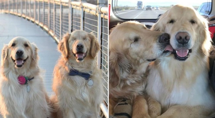 A guide dog for a blind dog | Now this blind Golden Retriever is guided by his four-legged best friend