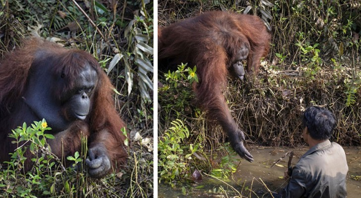 Un fotografo cattura il momento in cui un orango tende la mano ad un uomo nel gesto di aiutarlo