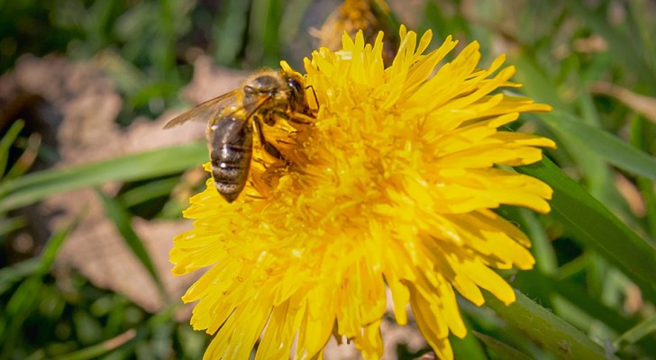 Lasciamo crescere il tarassaco: può aiutarci a nutrire le api e gli altri impollinatori appena usciti dal letargo