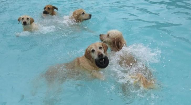 Een hondenfeestje in het zwembad waar alle honden wel een uitnodiging voor willen