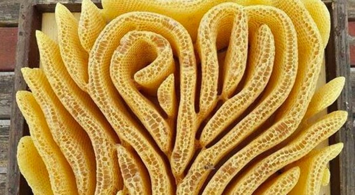 Die künstlerische Seite der Natur: Dieses Bienenvolk hat einen herzförmigen Bienenstock gebaut