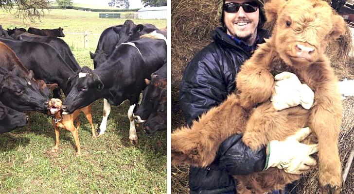 Queste 13 immagini dimostrano che le mucche possono essere adorabili e tenere quanto i cani