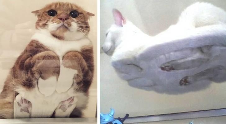 Gatti sdraiati sui tavoli di vetro: 10 volte in cui i proprietari non hanno resistito alla tentazione di fotografarli