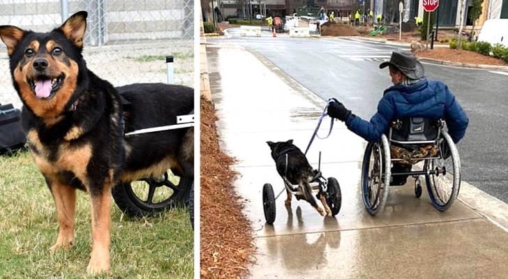 Durante 6 anos ninguém quis adotar este cachorrinho com deficiência, até que um homem numa cadeira de rodas o levou para casa