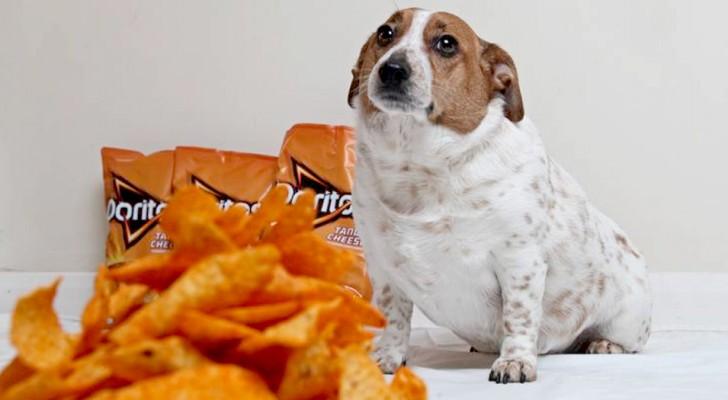Questo cagnolino è arrivato a pesare 10 kg mangiando troppo spesso le tanto amate patatine al formaggio