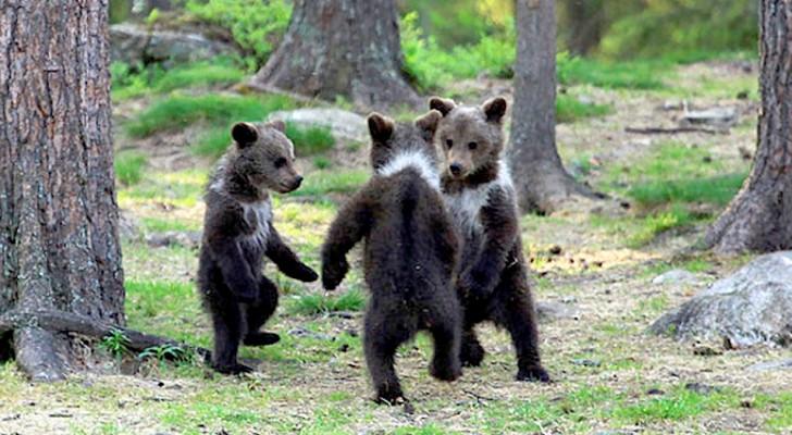 Questo fotografo è riuscito a immortalare tre cuccioli di orso che sembrano fare il girotondo in cerchio