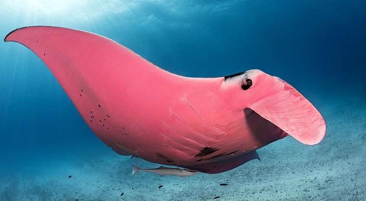 Questo fotografo è riuscito a immortalare un rarissimo e meraviglioso esemplare di manta rosa