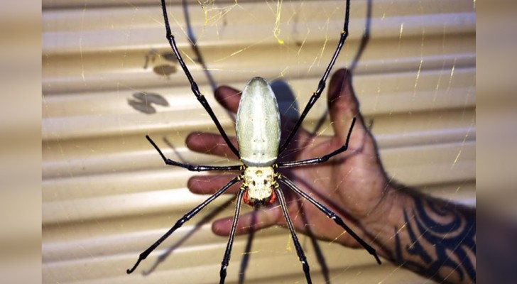 Ein Mann fand eine Spinne in der Größe seiner Hand vor seinem Garagentor...