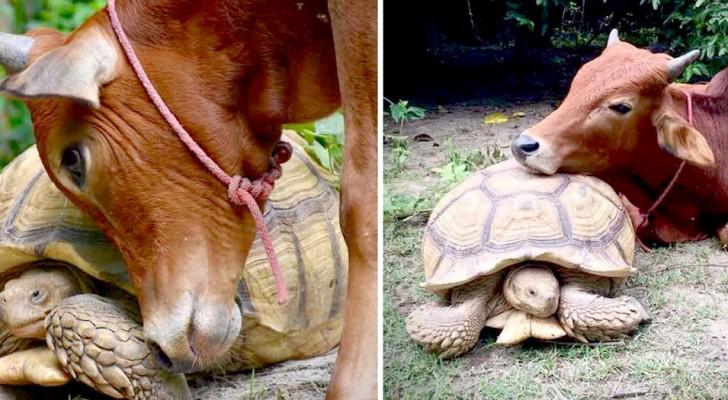 À défaut de s'intégrer auprès des vaches, ce veau se lie d'amitié avec une tortue géante