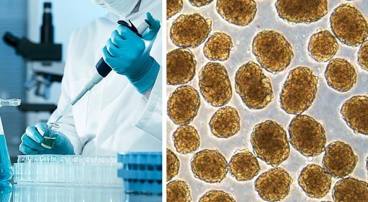 Diabetes: Dank Stammzellen konnten Wissenschaftler Mäuse schnell heilen
