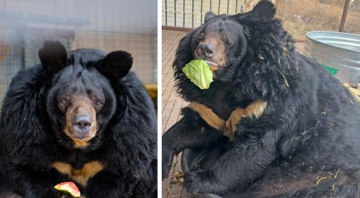 Quest'orso pesa il doppio di quanto dovrebbe, ma sembra non apprezzare la dieta che gli hanno prescritto
