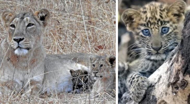 Una leonessa ha adottato un cucciolo di leopardo abbandonato, curandolo come se fosse figlio suo