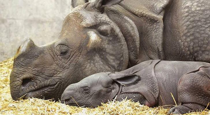 Na vele pogingen kreeg deze neushoornmoeder haar jong: veel hoop voor de soort