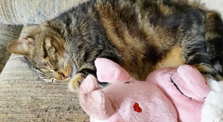 Diego, le chat qui ne quitte jamais son ami en peluche : ils sont pratiquement inséparables