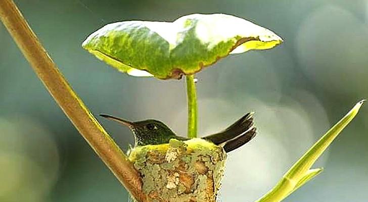 Un colibri femelle construit un nid juste sous une feuille pour offrir un abri sûr à ses petits