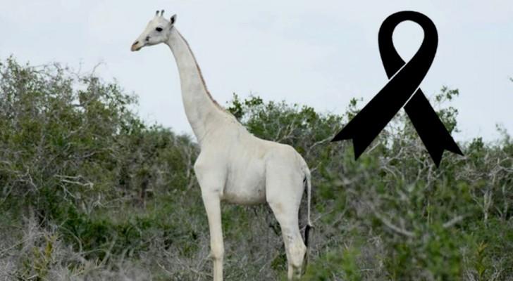 Une des dernières girafes blanches connue a été tuée, probablement par un braconnier