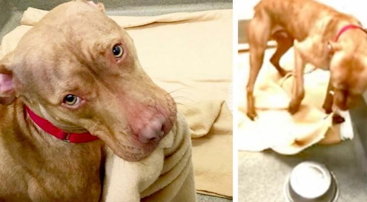 In attesa di venire adottato, questo pitbull di 1 anno si rimboccava le coperte del suo lettino da solo