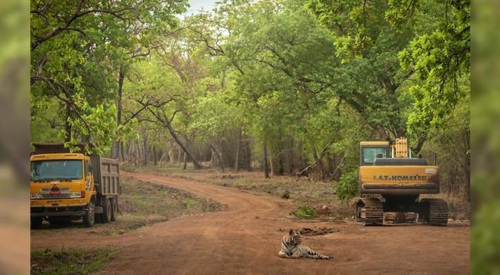 In India, questa tigre è stata immortalata vicino ai bulldozer che stanno distruggendo la sua foresta