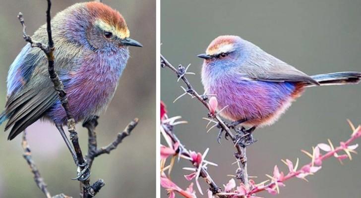 Dieser niedliche kleine Vogel mit bunten Federn scheint aus einem Märchen zu stammen