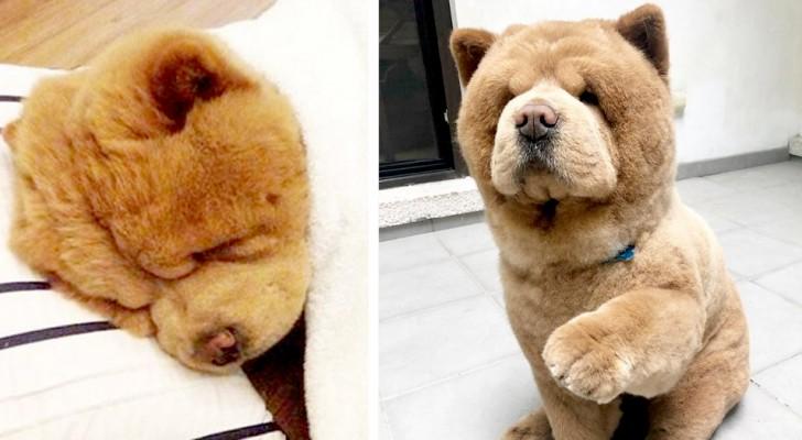 Chowder, le chow-chow qui ressemble plus à un nounours qu'à un chien