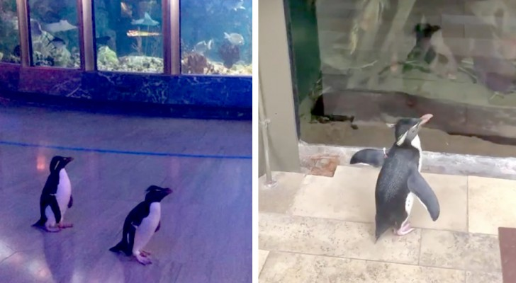 Het aquarium sluit vanwege Covid-19: 's nachts kunnen de pinguïns vrij rondlopen in de structuur
