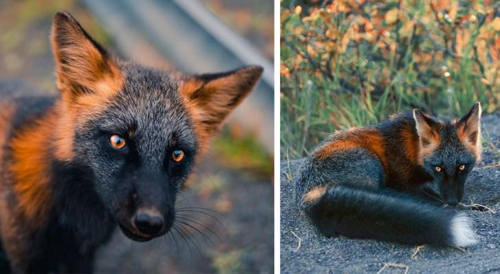 Un fotografo è riuscito a catturare tutta la bellezza di un particolare tipo di volpe dalla pelliccia nera e rossa