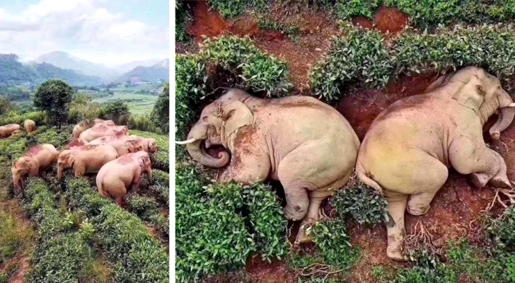 Door de afwezigheid van mensen stormden 14 olifanten een dorp binnen op zoek naar voedsel en vielen in slaap tussen de theeplanten