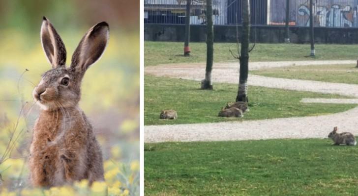 Milano: con gli uomini chiusi in casa, i conigli si riappropriano dei parchi cittadini