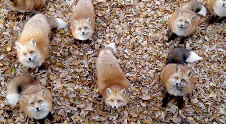 In Giappone esiste un'oasi naturale dove si può passare la giornata con centinaia di bellissime volpi