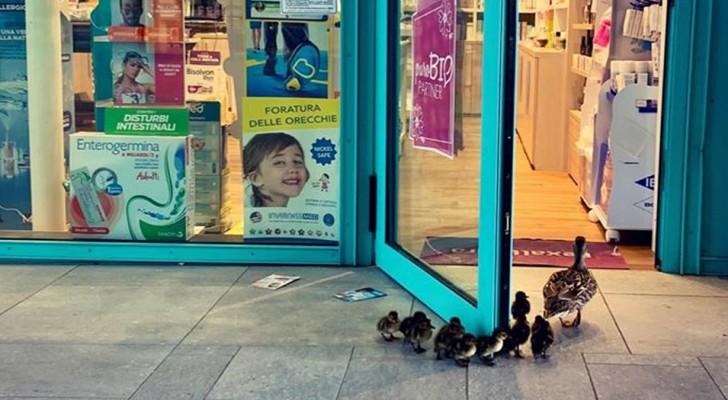 De straten zijn verlaten, daarom loopt moedereend ongestoord een apotheek binnen, gevolgd door haar kuikentjes
