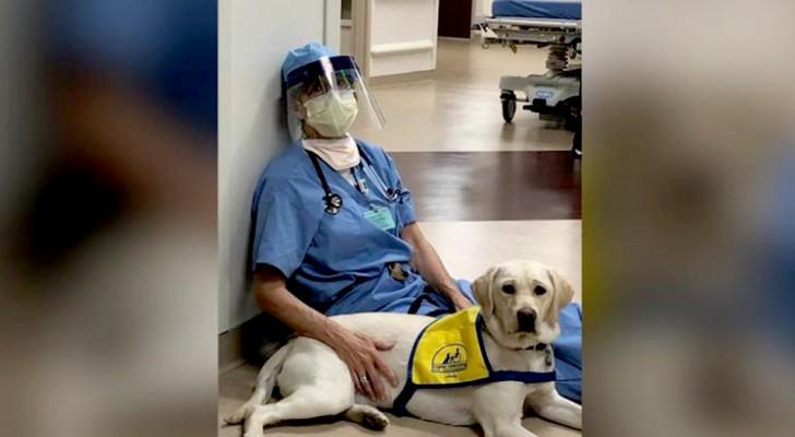 Wynn, o labrador de terapia que conforta os médicos e enfermeiros que lidam com o Covid-19