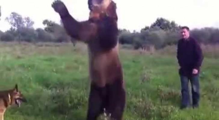 L'ours domestique