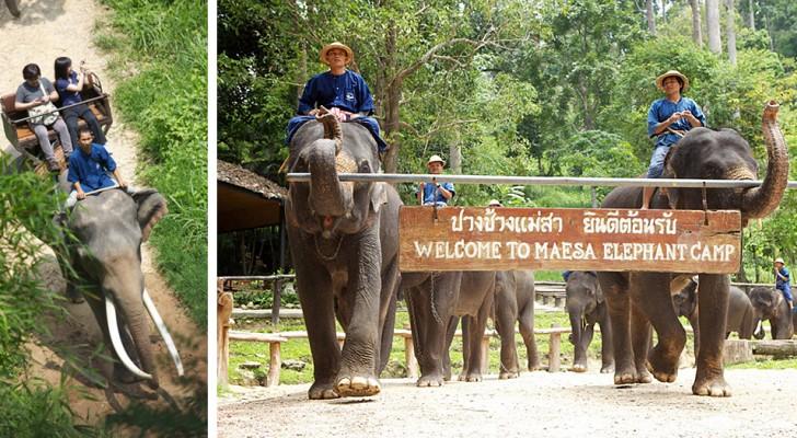 Coronavirus, 78 olifanten in Thailand vrijgelaten: ze zullen geen toeristen meer op hun rug dragen