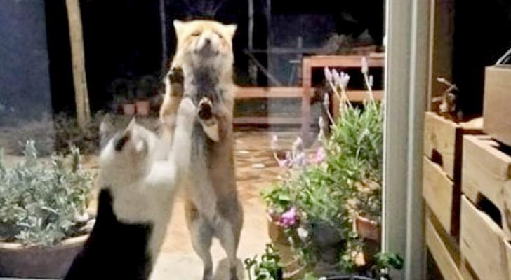 O gato e a raposa: uma doce amizade mesmo durante o isolamento forçado