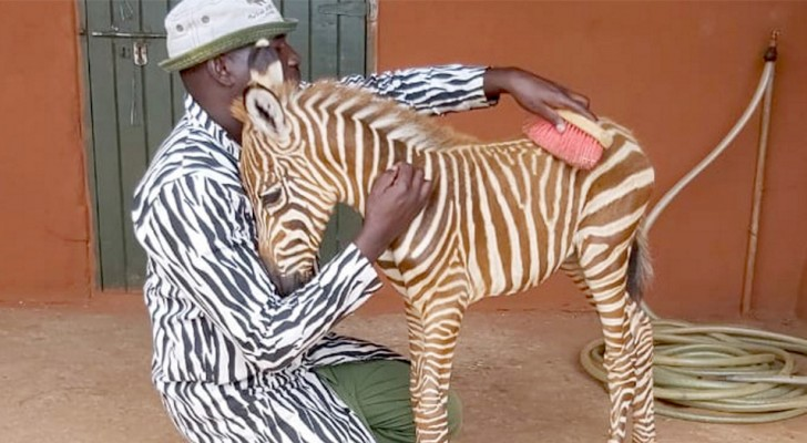Diria, de zebra die getroost wordt door vrijwilligers met wit en zwart gestreepte jassen omdat ze haar moeder heeft verloren