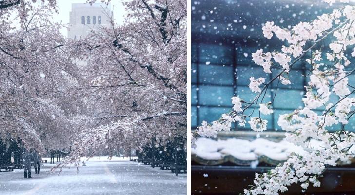 Il neige à Tokyo pendant la floraison des cerisiers : la ville devenue blanche est encore plus fascinante de beauté