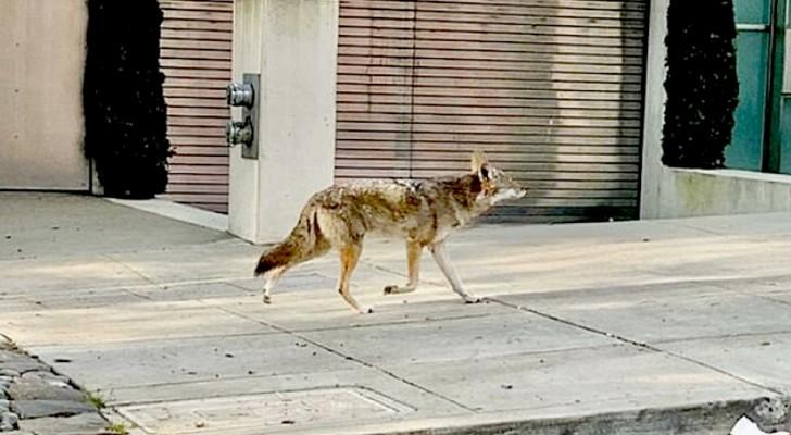 Con i cittadini chiusi in casa, i coyote passeggiano indisturbati per le strade della metropoli di San Francisco